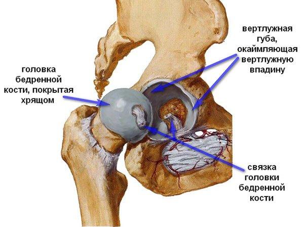 Тазобедренный сустав образован головкой бедра и вертлужной впадиной тазовых костей, снаружи укреплен суставной сумкой и мышечно-связочным аппаратом